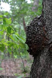 Image result for images of black knot disease