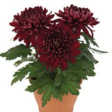 Image result for Chrysanthemum indoor potted plant