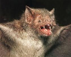 Resultado de imagem para fotos de morcegos castanho