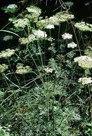 Selinum carvifolia - Wikipedia