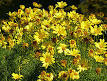 Images & Illustrations of coreopsis