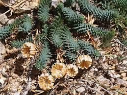 LINUM PUNCTATUM C. Presl subsp. PUNCTATUM – len / ľan ...