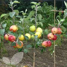 Apple Trees Lord Lambourne