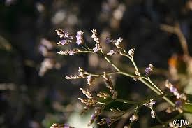 Limonium californicum | California Flora Nursery
