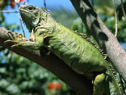Image result for iguanas