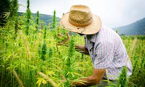 Image result for farm, 27 acres of hemp grew all summer