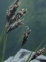 Sesleria juncifolia