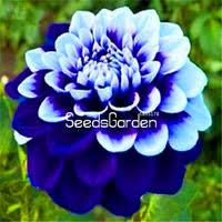 <b>Dahlia</b> Seeds - Shop Cheap <b>Dahlia</b> Seeds from China <b>Dahlia</b> Seeds ...