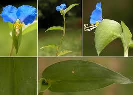 Commelina communis L. - Sistema informativo sulla flora vascolare ...