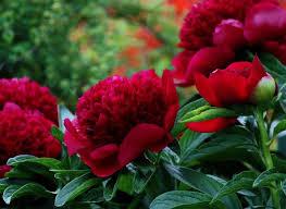 Et des fleurs dans votre jardin pour l'égayer !!!! Images?q=tbn:ANd9GcRmc3umbC1hmrEDZqVb0mEl5RHqyVlCru-SDoOddU1EXBveq7P8gQ