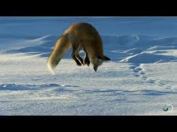 Fox Dives Headfirst Into <b>Snow</b> | North America - YouTube