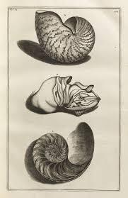 Chambered Nautilus, <b>Nautilus pompilius</b> - Georg Eberhard ...