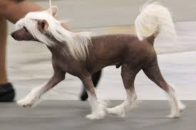 Τι παράξενο έχει ένας Chinese Crested σκύλος;