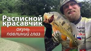 ОГРОМНЫЕ окуни разгибают <b>крючки</b>! Рыбалка на ...