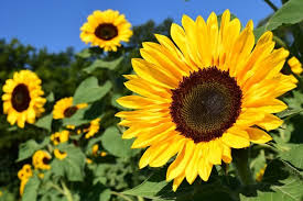 21 Easy to Grow <b>Flowers</b> for Beginners   Garden Design