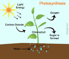 diagram of the process of photosynthesis photo album   diagramsphotosynthesis diagram photo album diagrams