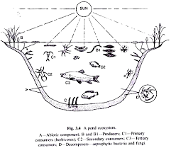 pond and lake as ecosystem  with diagram a pond ecosystem