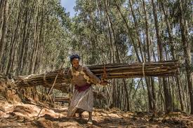 the people of s forests amone ayesa collects wood in the entoto forest outside of addis ababa the