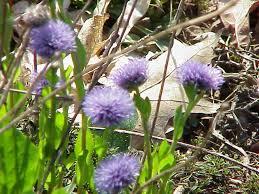 Globulariaceae — Wikipédia