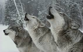 we learn more about our language by listening to the wolves aeon we learn more about our language by listening to the wolves essays