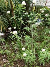 Trifolium latinum