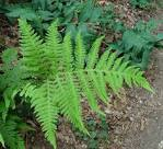 Images & Illustrations of broad beech fern