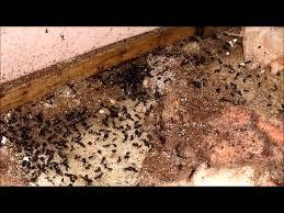Résultats de recherche d'images pour «photo fourmis charpentières»