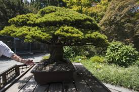 this 390 year old bonsai tree survived an atomic bomb and no one knew until 2001 the washington post bonsai tree