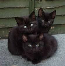 Risultati immagini per immagini di gatti neri