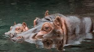 <b>Hippo</b> | San Diego Zoo Animals & Plants