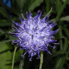 Phyteuma scheuchzeri - Wikipedia