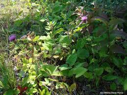 Centaurea nigrescens - Michigan Flora
