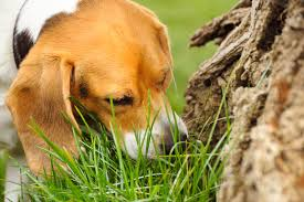 Why <b>Dogs</b> Eat Grass: Causes and Prevention