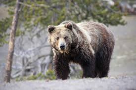 hunter encountered a grizzly bear tuesday morning sustained minor hunter encountered a grizzly bear tuesday morning sustained minor injuries