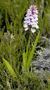 Dactylorhiza maculata - Wikipedia