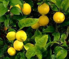 Resultado de imagen para limon