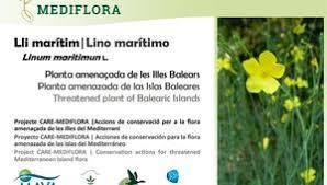 In situ conservation action for Linum maritimum in Mallorca