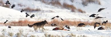 Gray <b>Wolf</b> - Yellowstone National Park (U.S. National Park Service)
