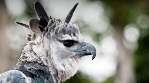 Image result for pic of harpy eagle eating a orangutan