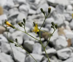 Pilosella piloselloides - Wikipedia