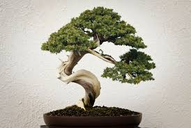 a bonsai tree bonsai tree