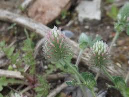 Trifolium sylvaticum | Manual of the Alien Plants of Belgium