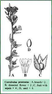 Convolvulus prostratus in Flora of Pakistan @ efloras.org