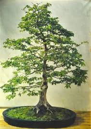 a bonsai tree will add a vintage look to any home see more bonsai trees add bonsai office interior