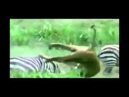 Animal Attacks Compilation - Amazing Animal Attacks 2014 - YouTube