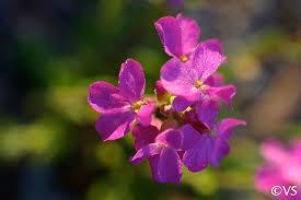 Arabis blepharophylla | California Flora Nursery
