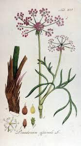 Peucedanum - Wikipedia