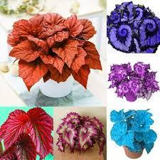 <b>50pcs</b>/<b>Bag</b> Coleus Seeds Rare Color <b>Begonia</b> Seeds Bonsai Flower ...
