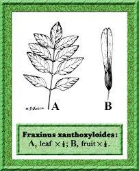 Oleaceae in Flora of Pakistan @ efloras.org