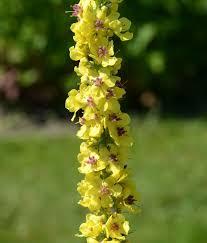 Verbascum lychnitis - Wikispecies